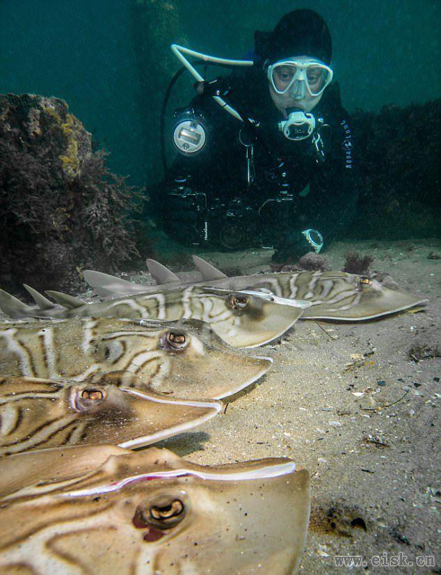 潜水员海底发现若干提琴鳐 头部均被砍成两半