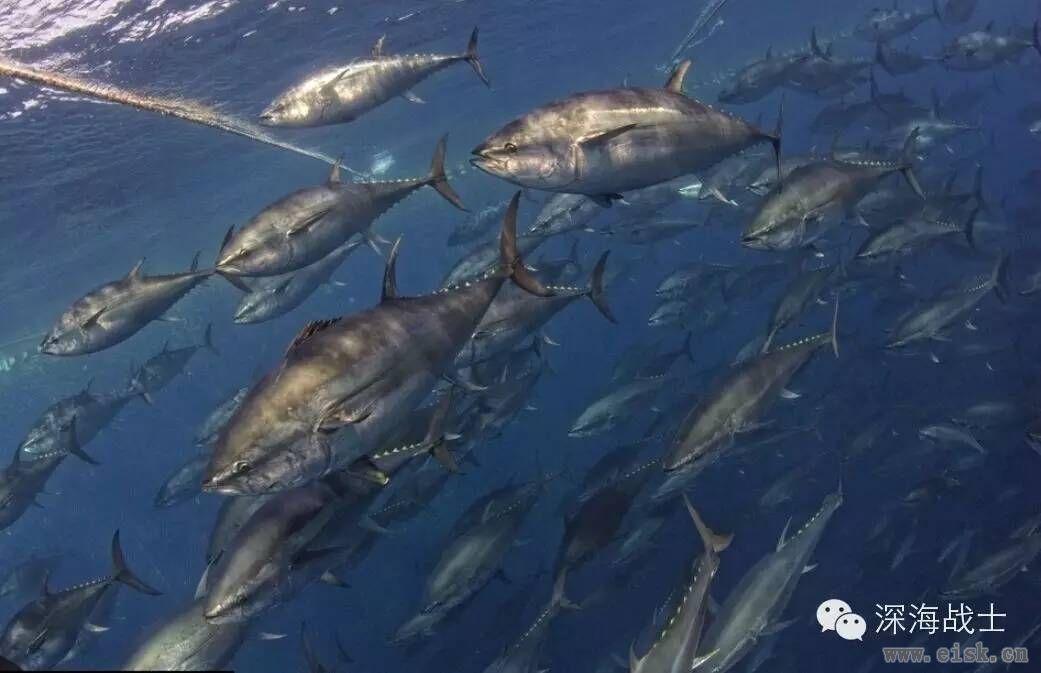 金枪鱼的主要分类和分布,各种权威意见不一,但常见品种我们还是分得出来的!