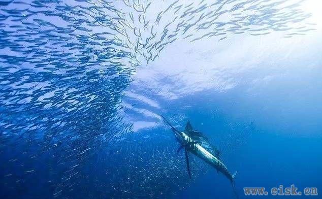 海上短游冠军――旗鱼