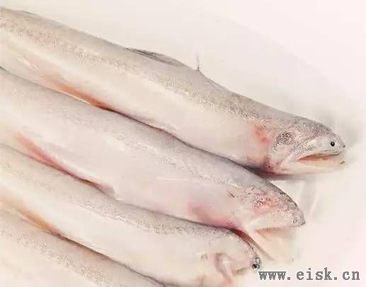 【龙头鱼】一条软骨头丨却成为阳江人常见的餐桌美味!