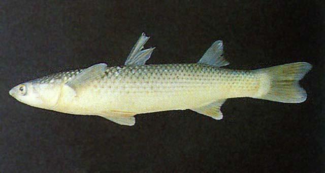 龟鮻(梭鱼)(Planiliza haematocheila)