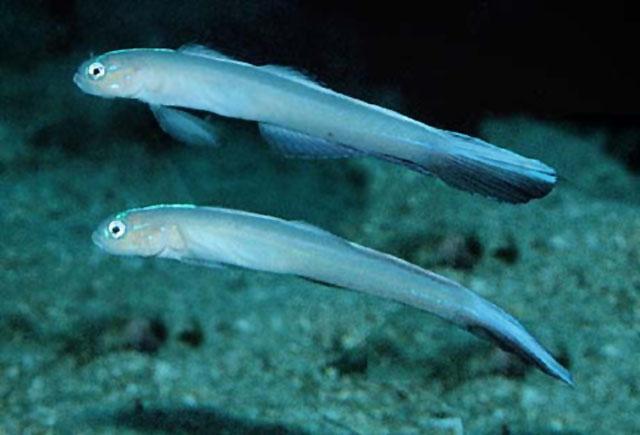龙首鳍塘鳢(Ptereleotris carinata)