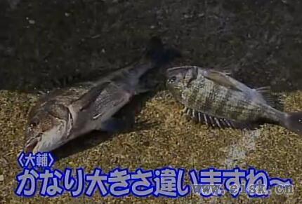 日本浮游矶钓高手冈田大浦教学黑鲷钓法(一)