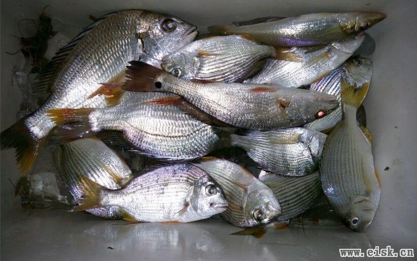 最近的鱼都不怎么大一起发吧(32,33,34)
