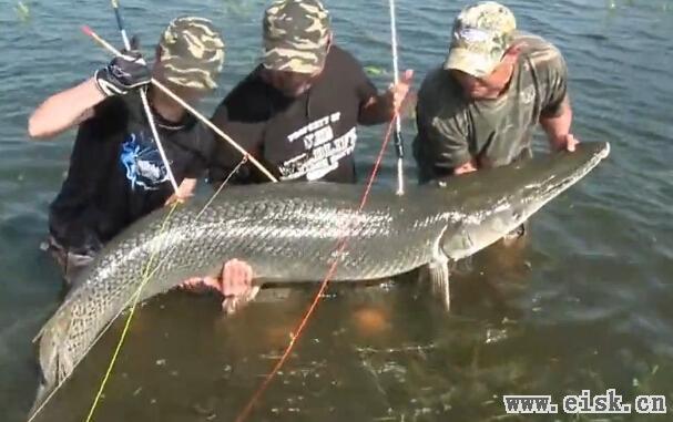 复合弓猎巨骨舌鱼