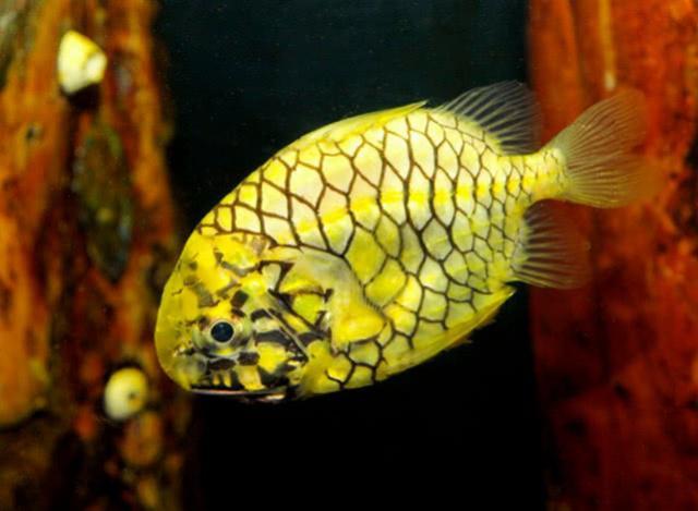 世界上钻石级坚硬的鱼,水里还会发光,煮不烂,日本人却这么吃