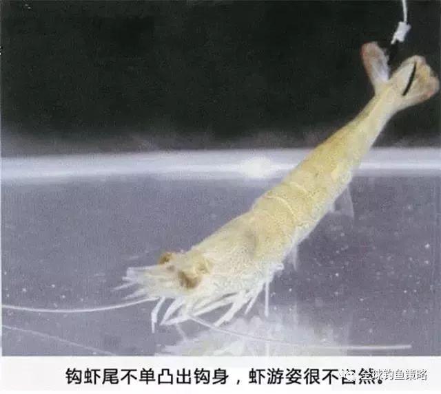 图解——活虾饵挂钩方法