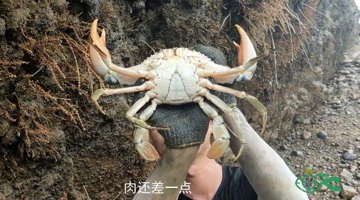 赶海发现一只巨无霸的青蟹,蟹钳比手臂还粗,用背包才能装下